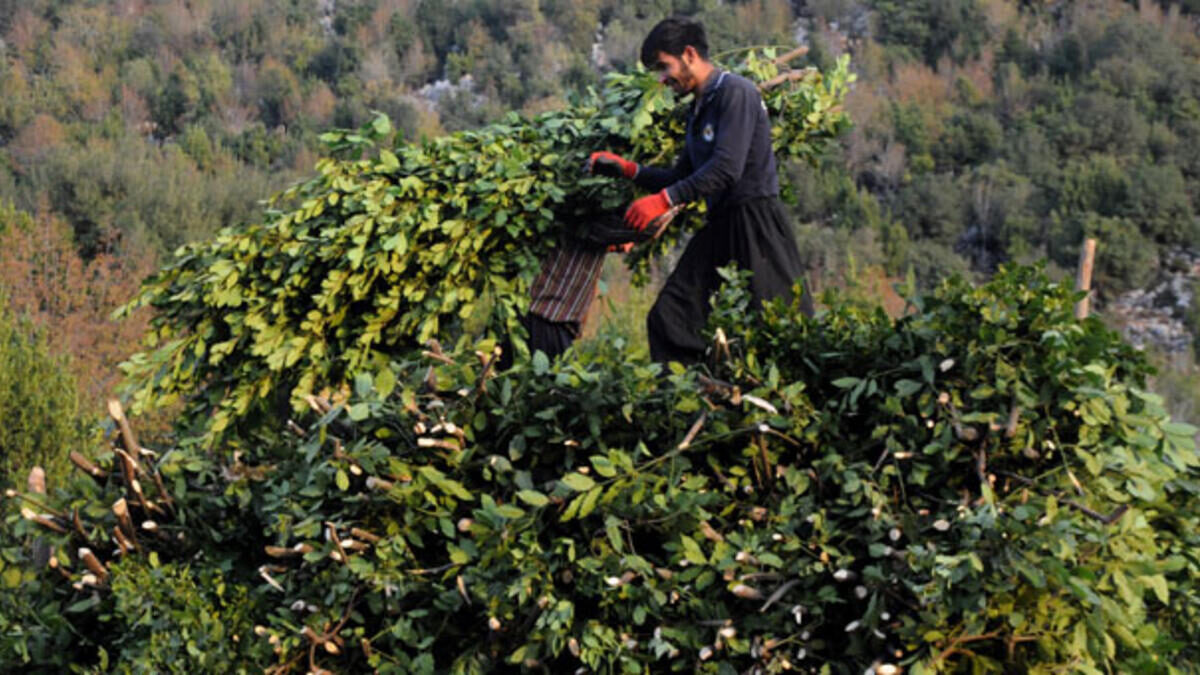A villager collecting laurel , Southern Turkey